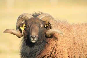 moutonouessant2